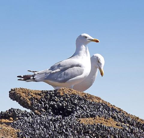 Animaux sauvages dans le Golfe du Morbihan - Mouettes - TCH-ILES -