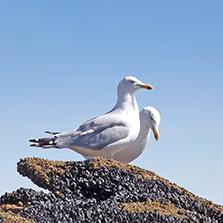 Animaux sauvages dans le Golfe du Morbihan - Mouettes - TCH-ILES